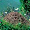 Как муравьи помогают птицам избавляться от паразитов?