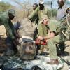 Зачем в странах обитания носорогов им отпиливают рог под наркозом?