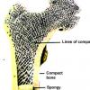 Какая человеческая кость вдохновила Эйфеля на создание проекта Эйфелевой башни?
