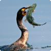 Какие птицы помогали японцам и китайцам на рыбалке?