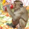 Где ежегодно устраивают банкет для обезьян?
