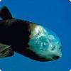 Как защищает свои глаза рыба Macropinna microstoma?