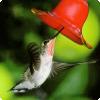 Какая птица умеет летать назад?
