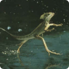 Какие пресмыкающиеся способны бегать по поверхности воды?