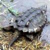 Почему добыча сама идёт в рот грифовым черепахам?