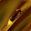 Какой пол светлячков летает и светится у многих их видов?