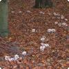 Откуда в лесу берутся ведьмины круги из грибов?