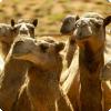 Какой континент обладает самой большой популяцией диких верблюдов?