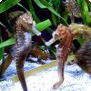 У каких рыб потомство вместо самок вынашивают самцы?