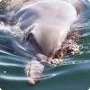 Сколько времени нужно дельфину, чтобы обновить верхний слой кожи?