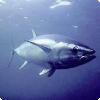Насколько сложно рыбам плыть против течения?