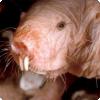 Какие млекопитающие по своей природе холоднокровны?