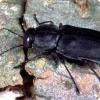 Какое стихийное бедствие благоприятно для размножения жуков Melanophila acuminate?