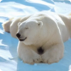 Какого цвета кожа у белого медведя?