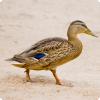 Почему утки и лебеди теряют способность летать?