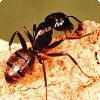 Какие насекомые способны вести себя аналогично камикадзе для обороны своего жилища?