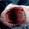 Кто может выворачивать желудок через рот наизнанку для его очистки?
