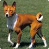 Какие собаки не умеют лаять?