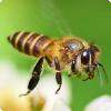 Зачем в Пентагоне тренируют пчёл?