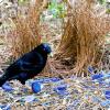 Зачем птицы-шалашники строят беседки, не выполняющие никакой полезной функции?