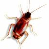 Сколько могут жить без головы тараканы?