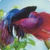 Где можно увидеть рыбьи бои?
