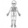 На сколько костей уменьшается скелет человека в процессе взросления?
