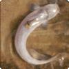 Какая рыба может заплыть в уретру человека?
