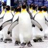 Каким образом императорские пингвины кооперируются, чтобы согреться?