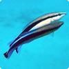 Самки какой рыбы могут превращаться в самцов?