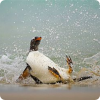Существует ли профессия переворачивателя пингвинов?