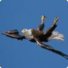 Какая птица может парить вверх ногами?