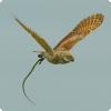 Зачем совы селят в своих гнёздах змей?