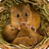 Возможно ли рождение млекопитающих от генетического материала двух самцов без генов матери?