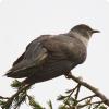 У каких птиц присутствует деление на расы?