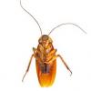 Какие города да страны, помимо Пруссии, стали основой чтобы названий тараканов на разных языках?