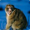 Какое значение для полового акта имеют крики самок обезьян?
