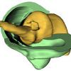 У каких животных ноги крепятся к телу с помощью винтового соединения?