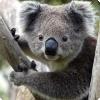 Как в Австралии спасают коал от гибели под колёсами?