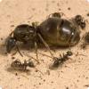 Каким образом муравьи выбирают королеву из нескольких претенденток?