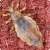 Какие насекомые помогли определить, насколько планирование вспять народище стали держать на себе одежду?