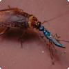 Какие насекомые охотятся на тараканов путём их зомбирования?