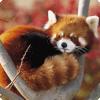 Какое животное изображено на логотипе браузера Mozilla Firefox?