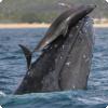 Каким образом дельфины могут играть с китами?