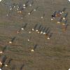 В каком направлении обычно ориентируются коровы и олени на пастбищах?