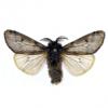 Какие бабочки в стадии гусениц вынуждены проводить в спячке до 13 зим перед превращением в куколку?