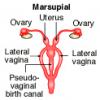 Самки каких млекопитающих имеют три вагины?
