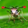 У каких насекомых самки выбирают самцов для спаривания строго по длине глазных стебельков?