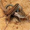 У каких ящериц, несмотря на размножение путём партеногенеза, все равно наблюдается брачное поведение?