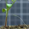 Какое растение-паразит ищет растение-жертву в соответствии с запаху?